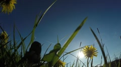 Common dandelion - Taraxacum officinale Arkistovideo