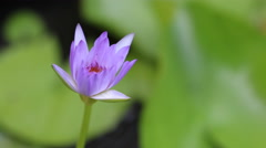 4K time lapse lotus petals is opening on morning time Stock Footage