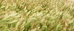 Prairie grass with seeds swaying in the wind Stock Photos