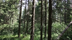 Coniferous forest Stock Footage