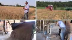 Farmer check harvest and sift wheat plants. Video collage Stock Footage