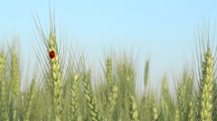 Ladybug ear in wheat field, organic food agriculture, fortune symbol Stock Footage