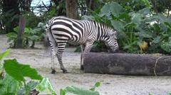 4k, Plains zebra in zoo, also known as the common zebra or Burchell's zebra -Dan Stock Footage