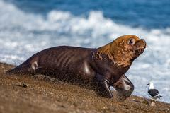 patagonia sea lion portrait seal on the beach while escaping from fight - stock photo