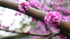 Cercis chinensis blooming in the spring - stock footage