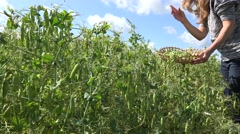 Female peasant hands harvest ripe peas pods in rural farm plantation. 4K Stock Footage