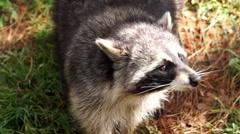 Little raccoon looking up Stock Footage