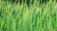 Green herb, moving by the wind. Blurred Background. - stock footage