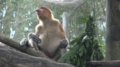 4k, The proboscis monkey is eating in a tree of the zoo (Nasalis larvatus)-Dan Stock Footage