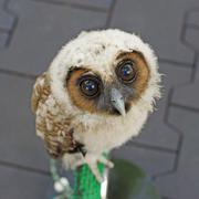 Ural owl or strix uralensis bird Stock Photos