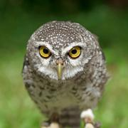 Spotted owlet or athene brama bird Stock Photos