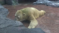 4k, Polar bear resting after lunch in the zoo-Dan Stock Footage