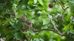 Collared dove (Streptopelia decaocto) bilding nest Stock Footage