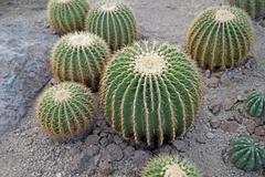 large cactus in the botanical gardens - stock photo