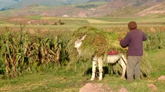 PERU: Farmer with a mule carrying grass Peru, South America Stock Footage