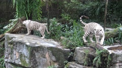 4k white tiger walking and wait the food in the zoo-Dan Stock Footage