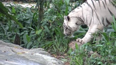 4k white tiger walking in the forest of the zoo-Dan - stock footage