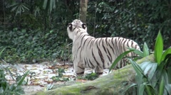 4k white tiger walking in the forest of the zoo-Dan Stock Footage