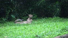 4k, The cheetah or the hunting leopard is lying in the grass of the zoo -Dan Stock Footage