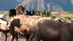 Sheep flock in Peru Stock Footage