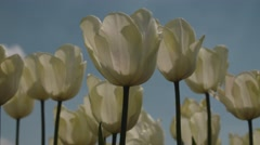 CLOSE-UP: Tulip field in netherlands in spring with blooming Tulips Stock Footage