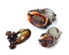 Two veined rapa whelk and anodonta (river mussel) - stock photo