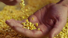 Farmer hands touching split peas, high quality agriculture product for export - stock footage