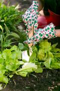 Closeup of woman working at garden on fresh organic lettuce bed - stock photo
