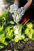 Closeup of woman spud lettuce garden bed with metal spade - stock photo