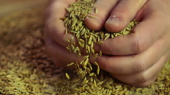 Hard-working farmer's hands showing high quality organic rye grain with pride - stock footage