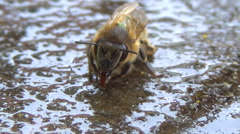 Close up of a bee sucking up water. Arkistovideo