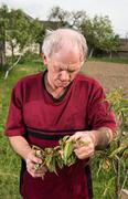 Farmer examining peach tree Stock Photos