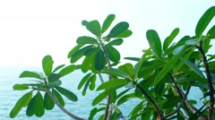 Plumeria Plant Leaning out over a Tropical Seascape. Video UltraHD - stock footage