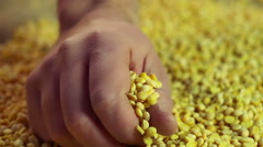 Male hand touching dried pea grain carefully, checking processed product quality Stock Footage