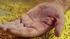 Processed pea grain dropping in senior male hand, farmer showing product quality Stock Footage