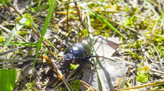Big beetle sits on the grass Stock Footage