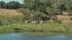 Herd of Zebra Grazing next to a watering  hole Stock Footage