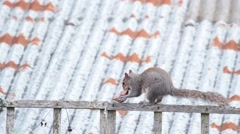 A grey squirrel running in a home garden in London, Uk. Stock Footage