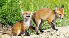 Angry red fox baby playing with its brother near the den ( Vulpes vulpes ) Kuvituskuvat