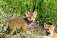 Curious fox cub looking at the camera ( Vulpes vulpes, wild animal ) Stock Photos