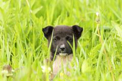 face of a black doggy hiding in big grass - stock photo