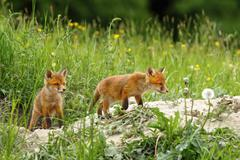 Fox cubs near the burrow ( Vulpes vulpes ); they like to play around when mot Kuvituskuvat