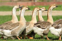 flock of domestic geese walking together on lawn - stock photo