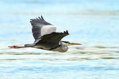 Ardea cinerea- grey heron in flight over Danube river, Danube Delta, Romania Stock Photos
