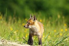 little red fox baby exploring the land near the den ( Vulpes vulpes ) - stock photo