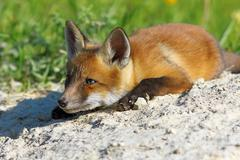 Lazy red fox laying near the den ( Vulpes vulpes ) Kuvituskuvat