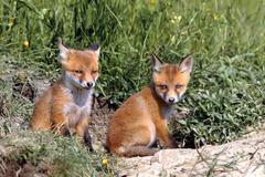 Red fox cubs resting near the burrow ( Vulpes vulpes ) Stock Photos
