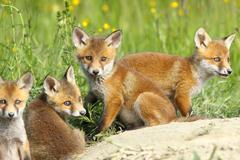 Red fox family, four cute cubs resting near the burrow, looking at the camera Stock Photos