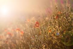 Wild poppies in beautiful sunset light ( Papaver rhoeas ) Stock Photos