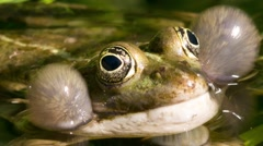 Frog croaking - close up shot Stock Footage